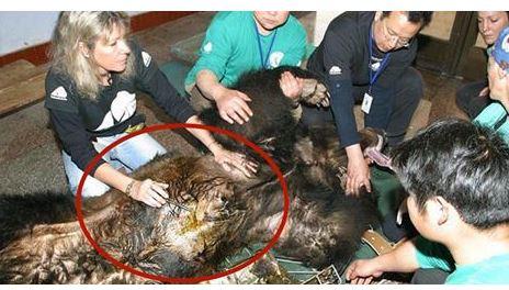 Quest'orso è finalmente libero dopo essere stato torturato. Ma quello che gli hanno estratto dal corpo ha scioccato i soccorritori!