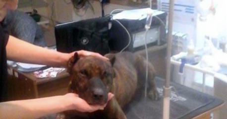 """Cane con il retto devastato dal proprietario: """"Era il suo schiavo sessuale…"""" FOTO"""