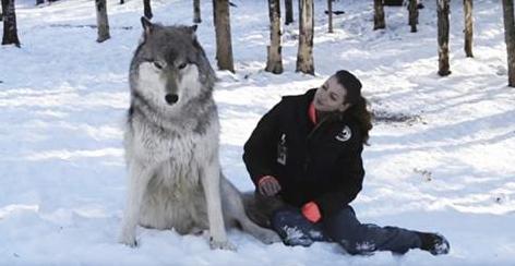 Un lupo gigante si siede accanto alla ragazza: guardate cosa succede quando lei si gira