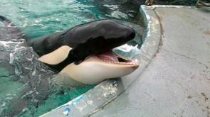 orca femmina morgan
