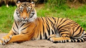 massacro delle tigri